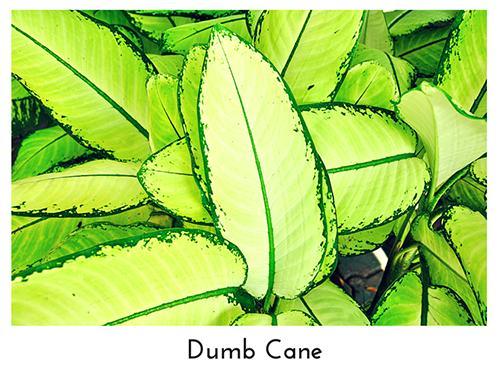 Dumb Cane 500x375