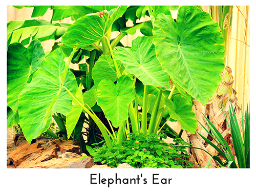 Elephant's Ear 500x375
