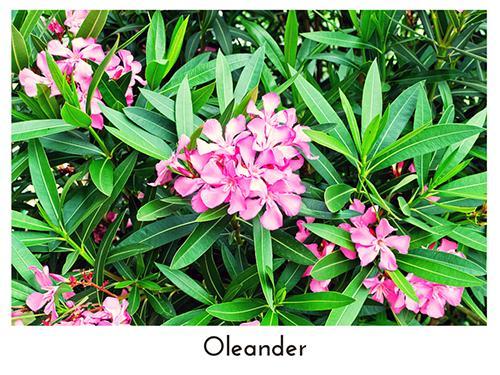 Oleander 500x375