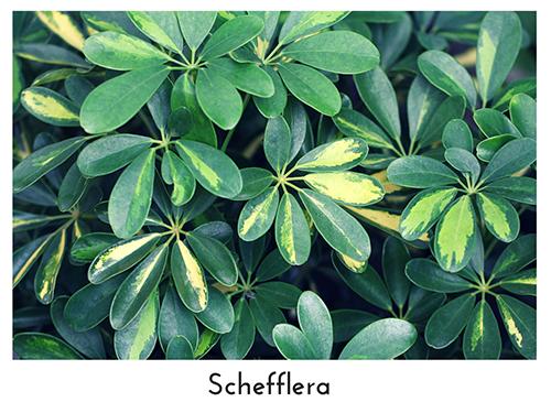 Schefflera 500x375